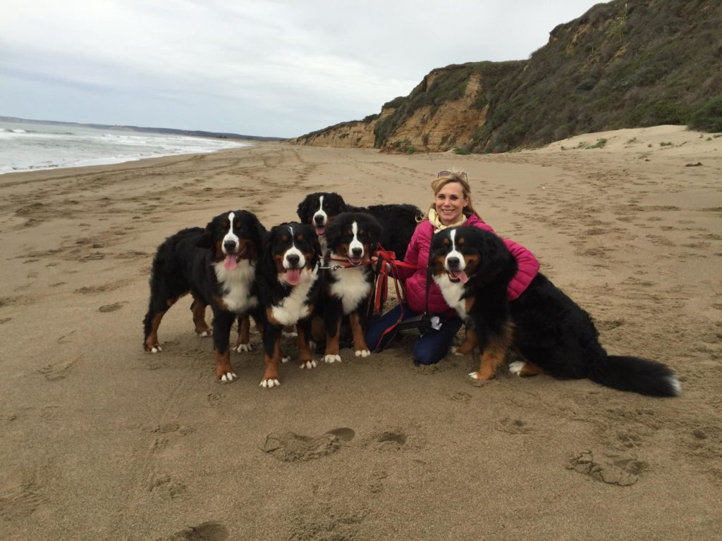 Woman with 5 Bernese Mountain dogs on a beach