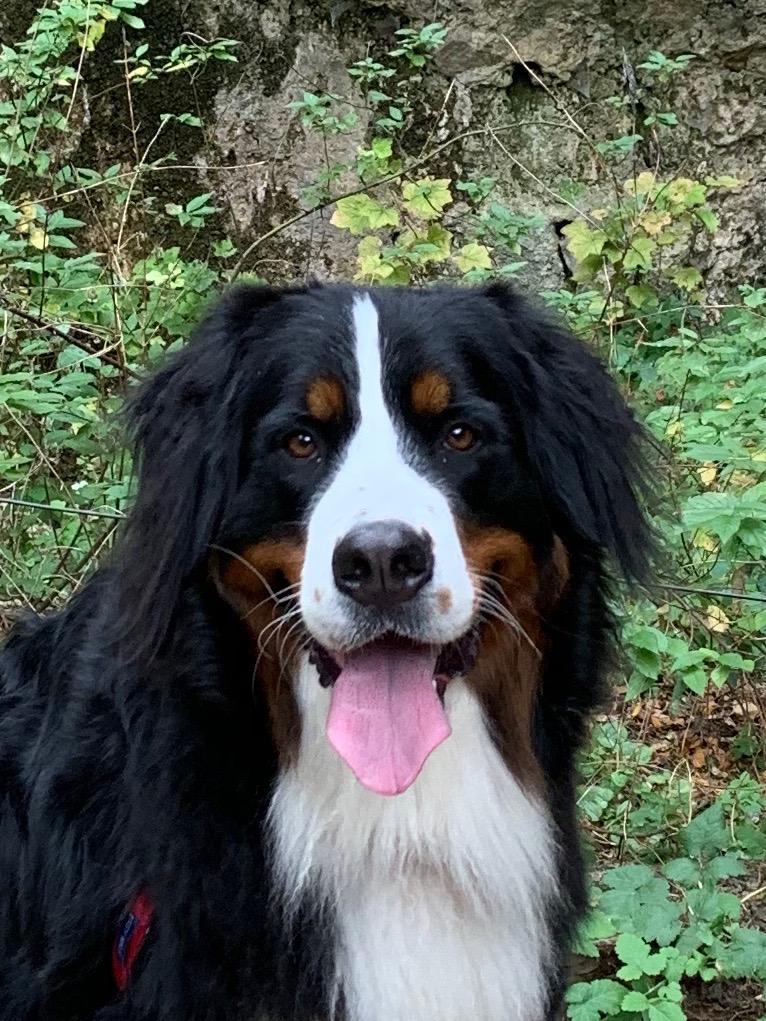 Chloe Relentless Ranch Bernese Mountain Dog