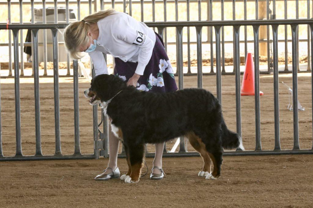 Royal Bernese Mountain Dog at her first show